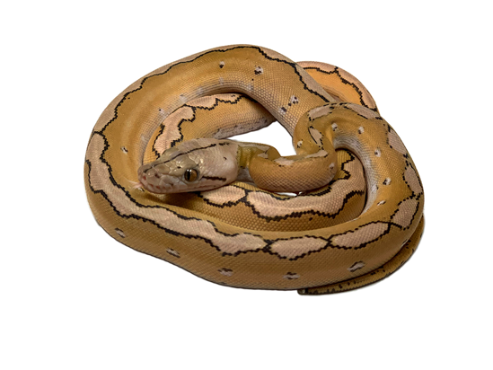 Picture of Motley Platinum Reticulated Python
