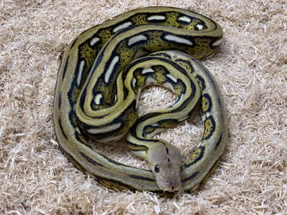 Picture of Female Tiger Reticulated Python